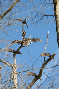 Basking Buzzards