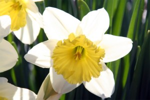 Hinckley Lake Daffodil
