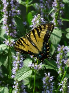 Swallowtail on Anise Hyssop