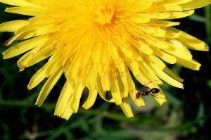 Dandy Ant