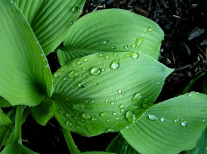 Bejeweled Hosta
