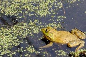 Spencer Frog
