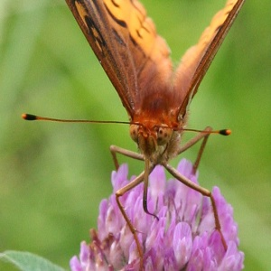 Fritillary Butterfly's Tongue