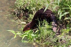 Beaver Leaving