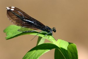 Damselfly Fourth