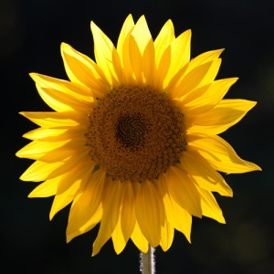 Favorite Sunflower