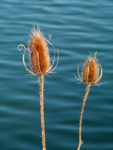 Thistle Heads on the Water