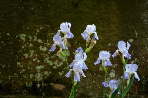 Olmsted Irises #4778