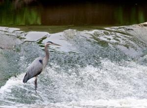 Falls Heron #4832