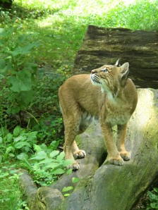 Focused Bobcat #0071