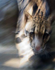 Clouded Leopard #0308