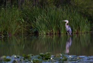 Sneaky Heron #1625