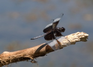 Furnace Run Dragonfly #4924