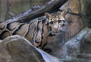 Clouded Leopard #0323