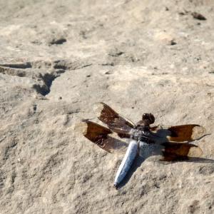 Last Dragonfly? #0479