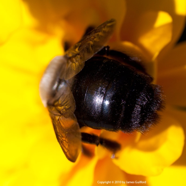 Photo: Bee buries itself deep within the folds of a marigold. Photo by James Guilford.