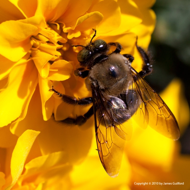 Photo: Bee on a marigold. Photo by James Guilford