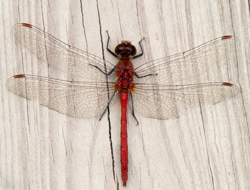 Photo: Red dragonfly poses on bleached wood. Photo by James Guilford