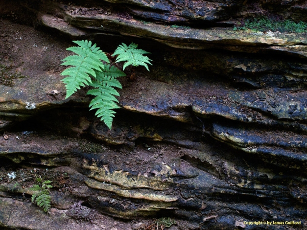 Photo: A fern grows from cracks in a river's rock wall. Photo by James Guilford.