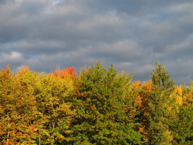 Photo: First color of autumn trees stands brilliantly illuminated against dark, clouded sky. Photo by James Guilford.