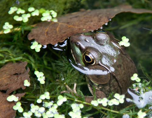 Photo: Green frog poses for photographers from its pond. Photo by James Guilford.
