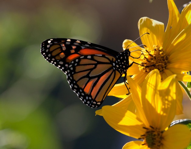 Photo: Monarch butterfly feeding on yellow coneflowers. Photo by James Guilford