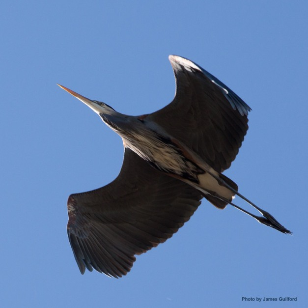 Photo: Great Blue Heron flies directly overhead. Photo by James Guilford.