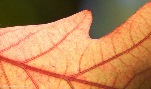 Photo: Tight crop of colorful autumn leaf. Photo by James Guilford.