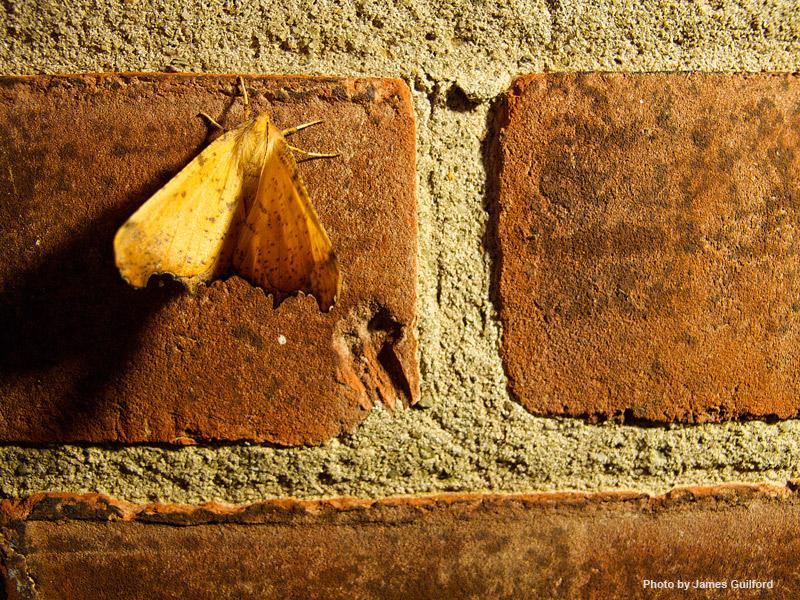 Photo: Moth clinging to a brick wall. Photo by James Guilford.