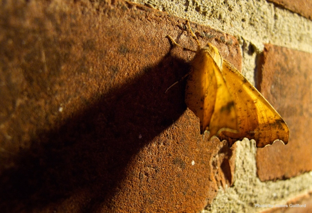 Photo: Moth clings to brick wall. Photo by James Guilford.