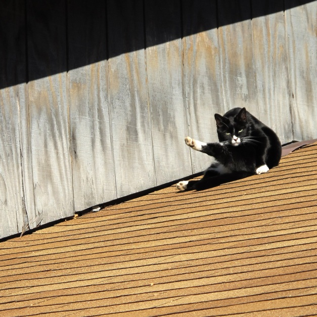 Photo: Cat on the shingled roof of a winery. Photo by James Guilford.