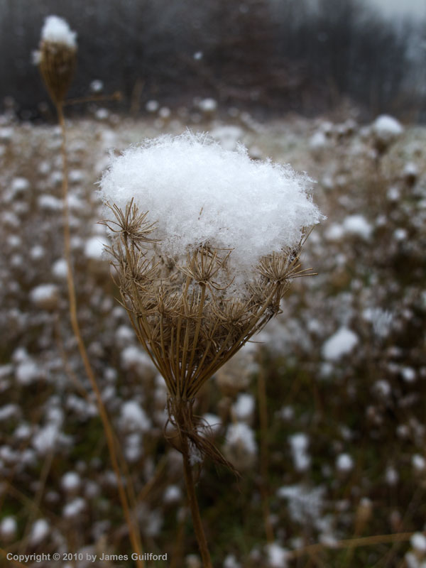 Photo: Light snow perched on dried Queen Anne's Lace. Photo by James Guilford.