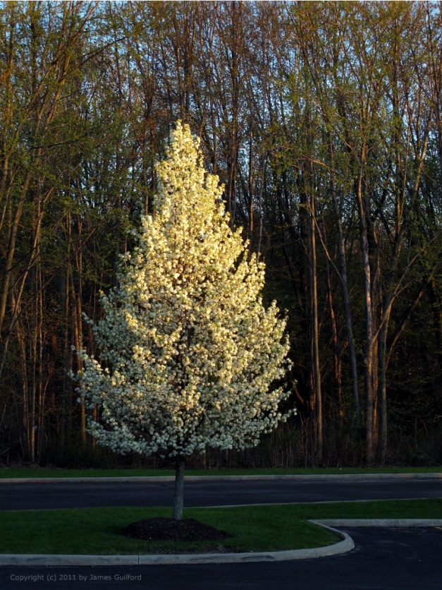 Photo: Late sun illuminates a spring-blooming tree. Photo by James Guilford.