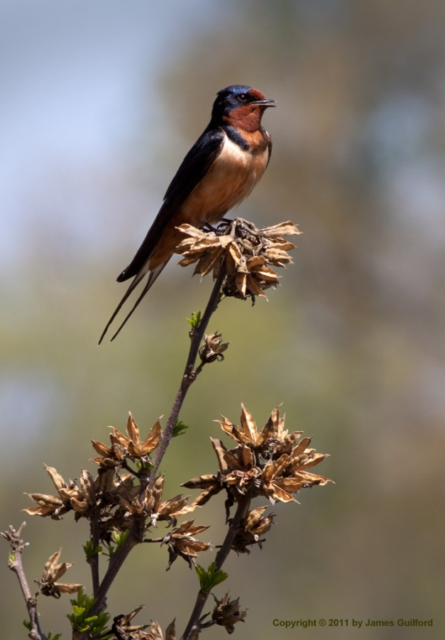 Photo: Perching Barn Swallow by James Guilford.