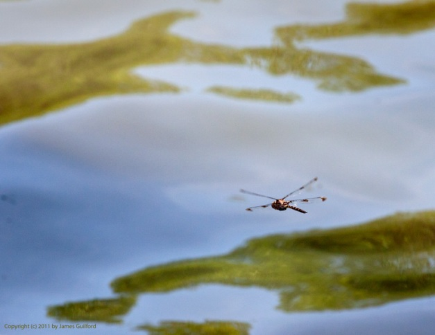 Photo: Dragonfly in flight. Photo by James Guilford.