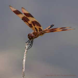 Photo: Halloween Pennant dragonfly. Photo by James Guilford.