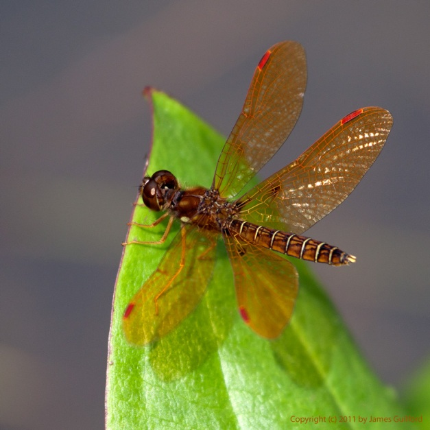 Photo: Tiny Eastern Amberwing red dragonfly rests on a bright green leaf. Photo by James Guilford.