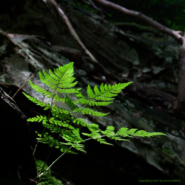 Photo: A fern grows from shallow soil in a rocky river bank. Photo by James Guilford.
