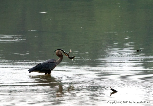 Photo: Great Blue Heron catches a fish. Photo by James Guilford.