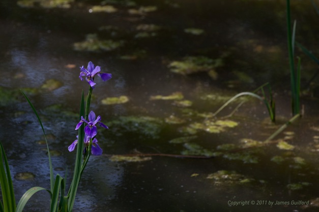 Photo: Iris blooming in a boggy wetland area. Photo by James Guilford.
