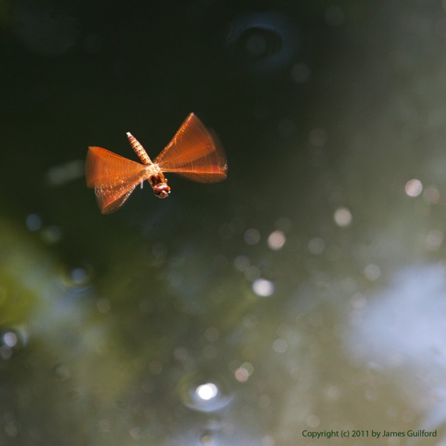 Photo: Red dragonfly in flight over sparkling water. Photo by James Guilford.