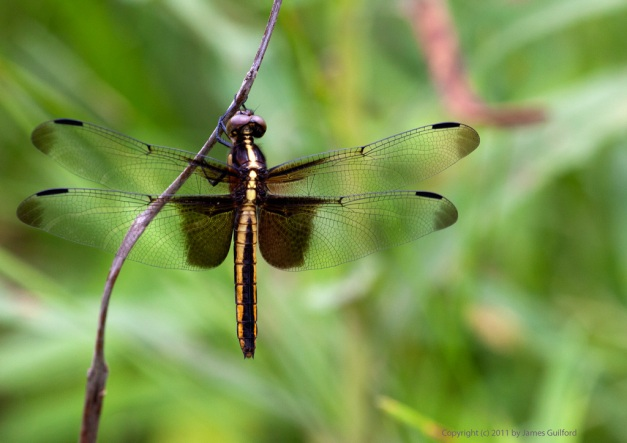 Photo: Dragonfly Widow Skimmer (female?) by James Guilford.