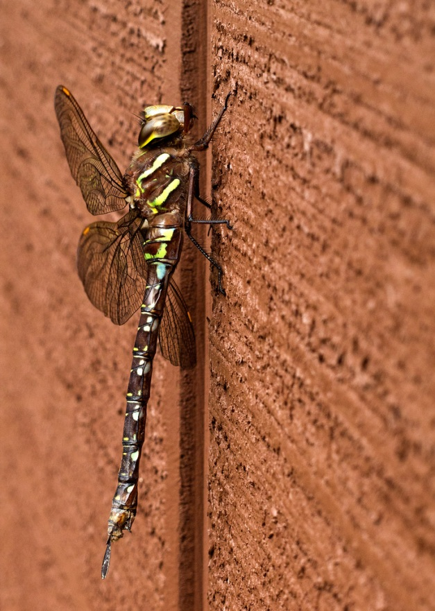 Photo: Dragonfly resting on wall. Photo by James Guilford.
