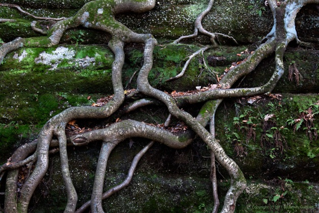 Photo: Tree roots cling tightly to a wall of ancient rock. Photo by James Guilford.