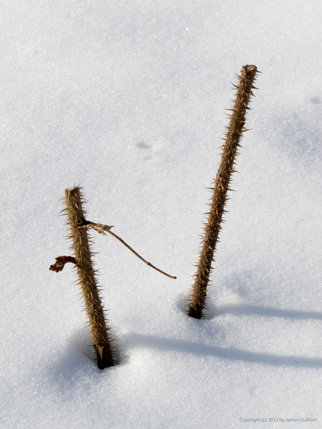 Photo: Spiny pruned rose wood protrudes from beneath snow in Peninsula, Ohio. Photo by James Guilford.