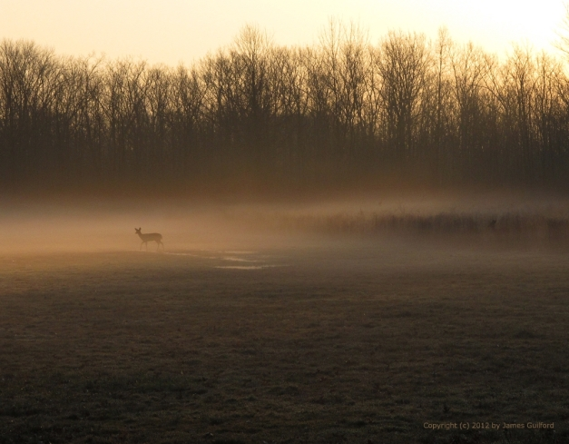 Photo: Deer graze a foggy open field by dawn's golden light. Photo by James Guilford.