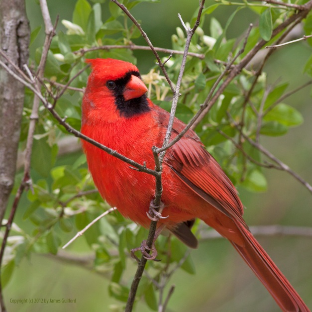 Photo: Male Cardinal in a shrubbery. Photo by James Guilford.