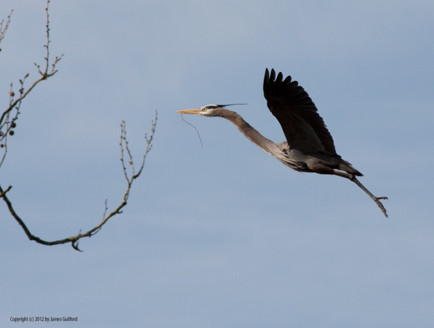 Photo: Great Blue Heron nears tree. Photo by James Guilford.
