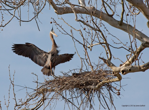 Photo: A Great Blue Heron landing on its nest. Photo by James Guilford.