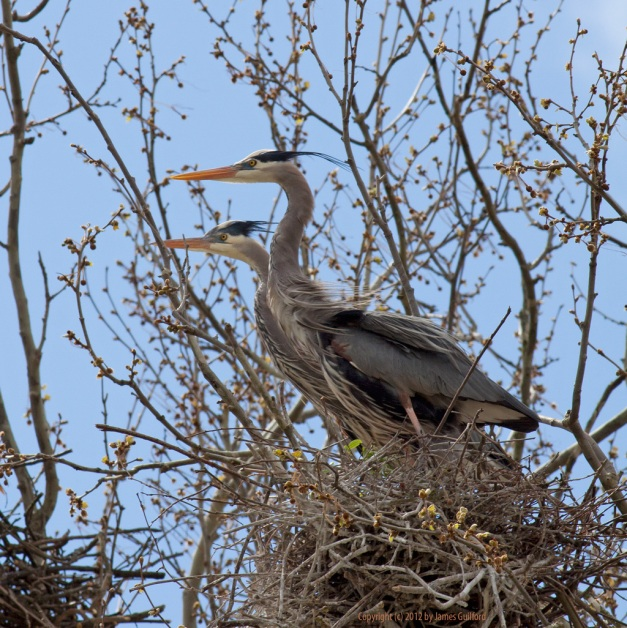 Photo: A pair of Great Blue Herons occupy a treetop nest. Photo by James Guilford.